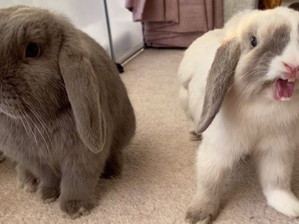 How big do Mini Lop Rabbits grow?