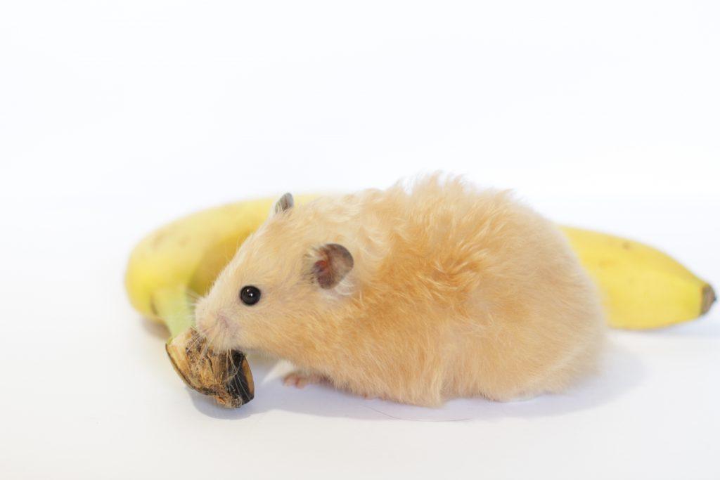 Can Dwarf Hamsters Eat Bananas? Plus 7 Safe Foods For Dwarf Hamsters