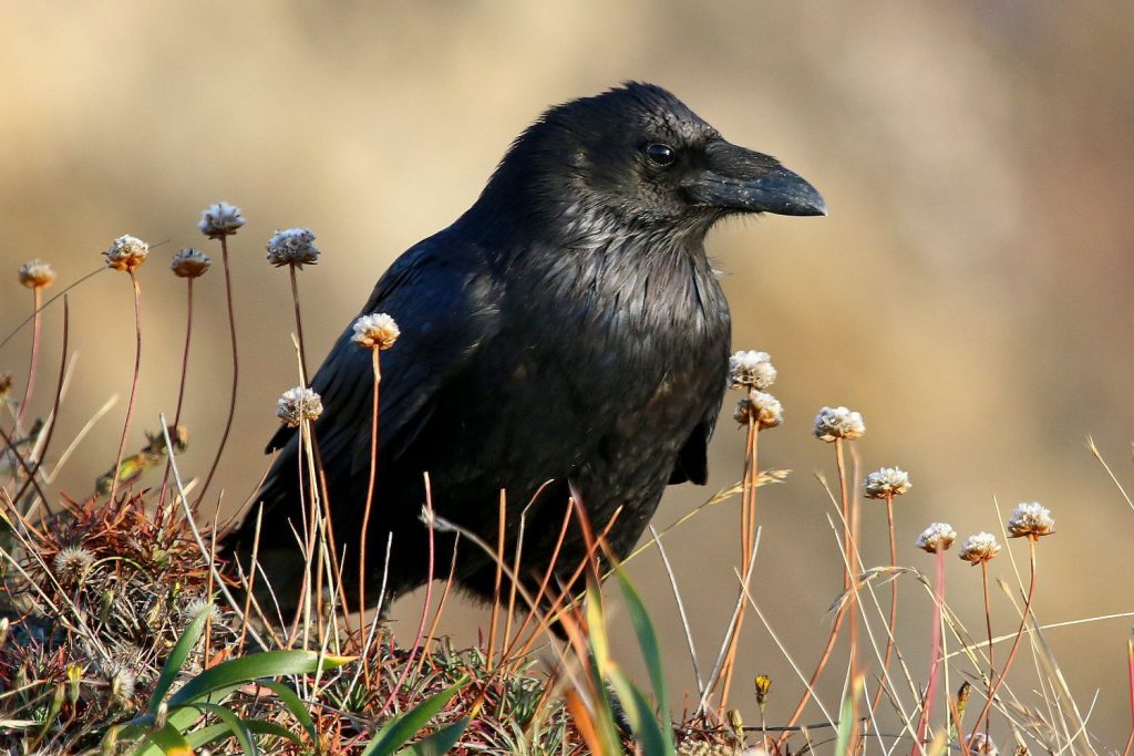 Can You Have a Raven as a Pet? 7 Things to Consider