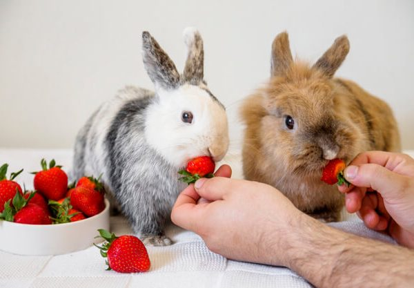 Can Rabbits Eat Strawberries?