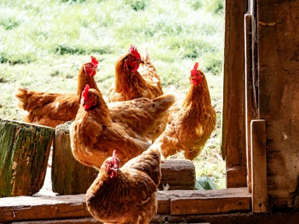 What is a Male Chicken Called? Glossary of Chickens