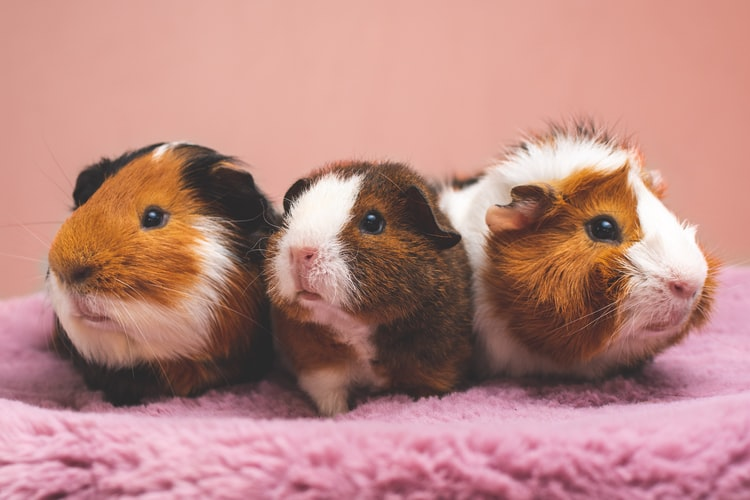 Do Guinea Pigs Blink   Have you seen them do it?