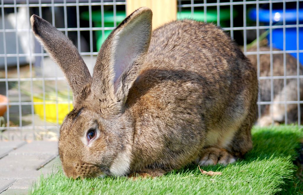 Flemish Giant Rabbit with Diet, Size, Breeding, and Housing