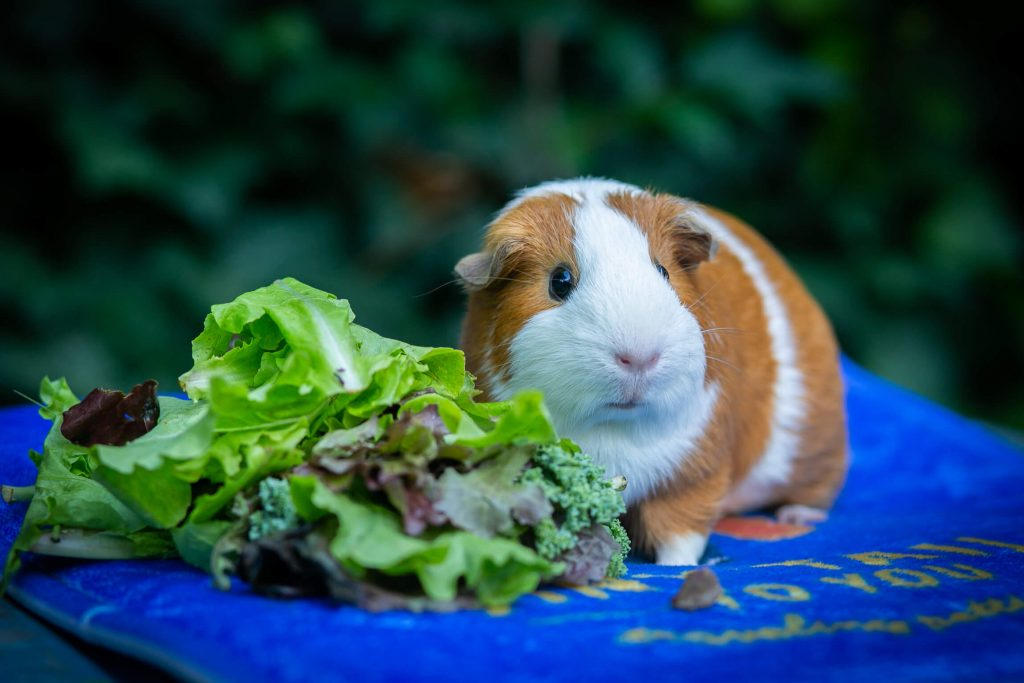 What Size Cage Do Guinea Pigs Need? Full Details with Dimensions, Shapes & Sizes