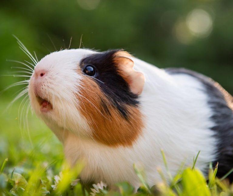 Unhappy Guinea Pig Noises. What does it mean?