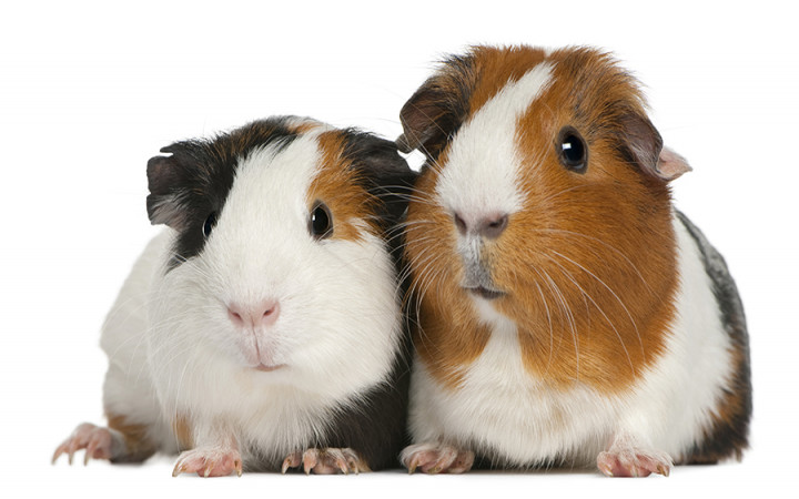 Can Guinea Pigs Eat Onions? Good or bad for Guinea pigs!