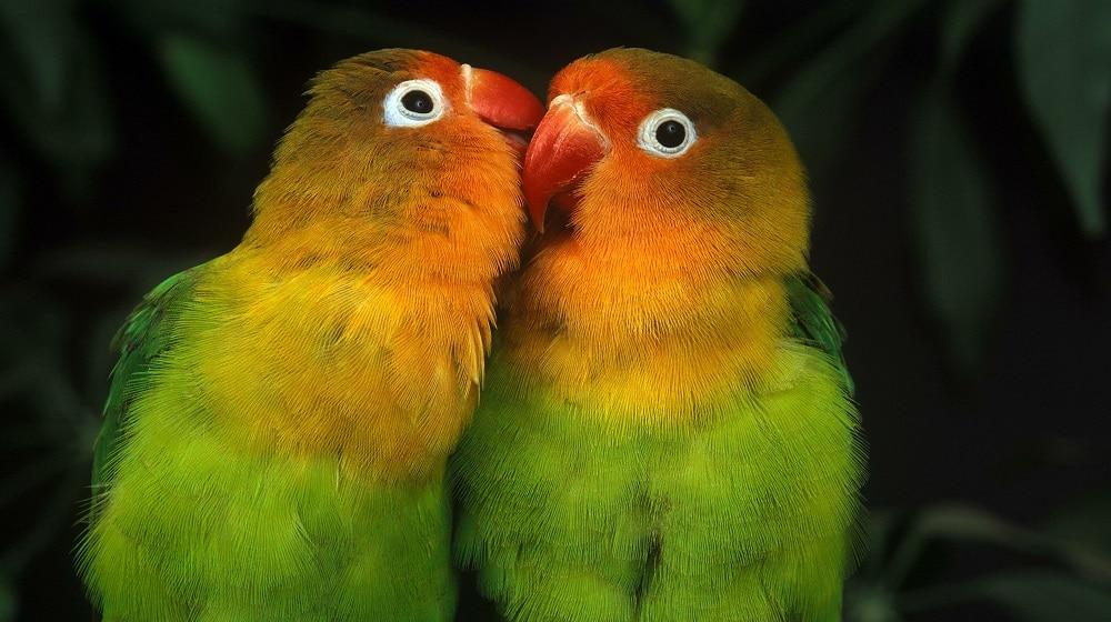 Types of Lovebirds | 9 Amazing Lovebird Species