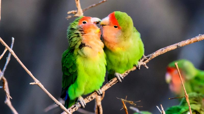 How long do lovebirds live?
